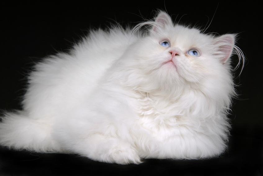 Cat Adoption Sa