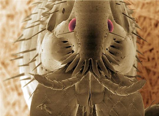 Puces, nymphes, pupes, larves sur le dos de vos animaux | Le