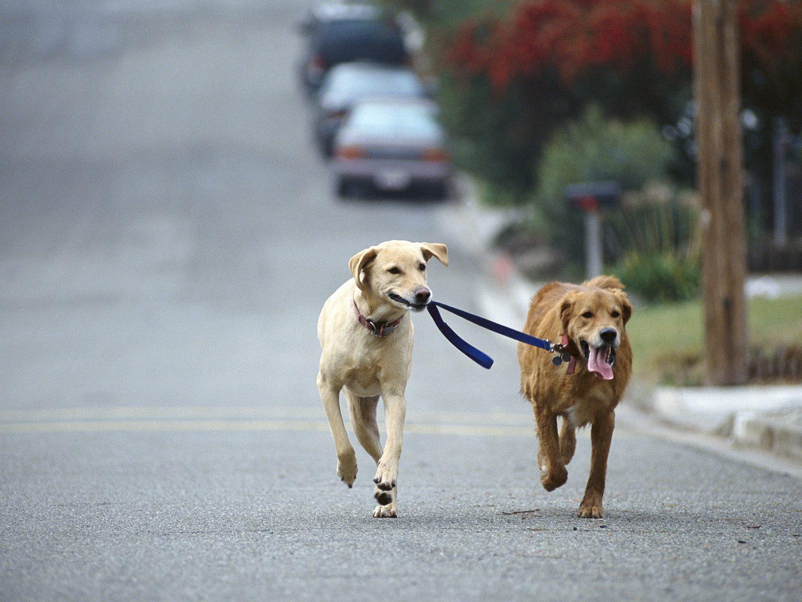 dresser son chien à la marche en laisse