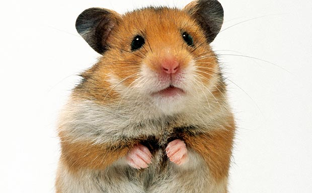 Animaux le hamster - Foto poile ...