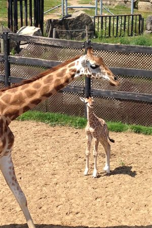 Le petit girafon et sa maman Bonnie  <br/>Photo de: René Saint-Louis