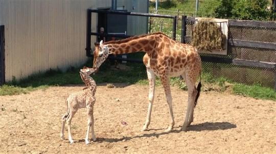 Les premières rencontres de la maman et du girafon. - Photo de :Bruno Coulombe